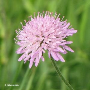 Scabieuse des champs Fleur