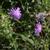 Scabieuse-des-champs-inflorescene