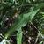 Scabieuse-des-champs-feuille