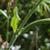 Scabieuse-des-champs-tige