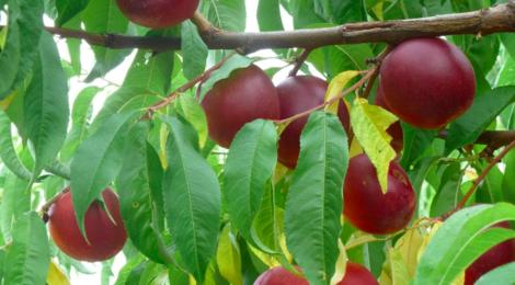 Les Vergers De Meilhac. Nectarines