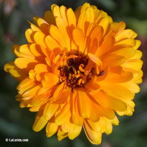 Souci calendula Inflorescence