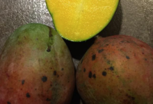Les produits du Pic Ombo. Mangues