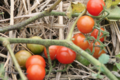 Les produits du Pic Ombo. Tomate cerise