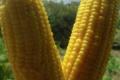 Les Jardins de Daoui. Maïs sucré