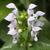 Lamier-blanc-fleur
