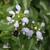 Lamier-blanc-inflorescence