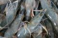 Nessaquacole Farm. Crevettes