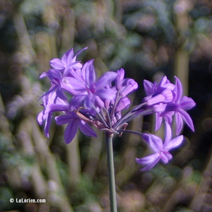 Tulbaghia violacée Inflorescence