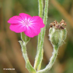 Coquelourde Fleur