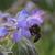 Bourrache-et-abeille