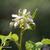 Framboisier-fleur