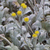 Tanaisie-d-armenie-inflorescence
