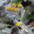 Tanaisie-d-armenie-fleur