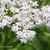 Hieble-fleur
