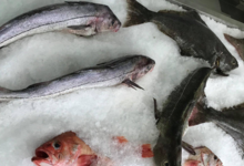 Pêcheries Paturel « La Boucanière ». Morue fraiche