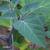 Stramoine-a-grandes-fleurs-feuille