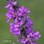 Salicaire-fleur