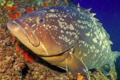 Kaina Fresh Fish - Cobia 2. Merou