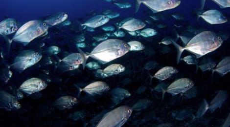 Kaina Fresh Fish - Cobia 2. Paihere