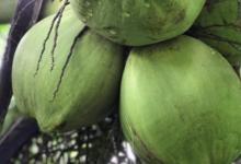 Coco frais Tahiti