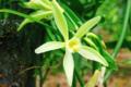 Vanille de Tahiti - Oro'a