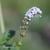 Heliotrope-d-europe-fleur