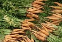 Le jardin de Germain. carottes