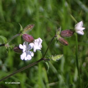 Compagnon blanc Inflorescence
