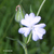 Compagnon-blanc-fleur-femelle