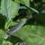 Compagnon-blanc-seve