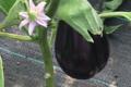 La Ferme Valdieu. aubergine