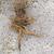 Molene-bouillon-blanc-racine