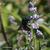 Gattilier-et-abeille-charpentiere