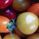 La ferme végétale de Boiséon. Tomate cerise