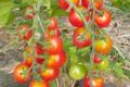 Ferme Cimetière. Tomate cerise