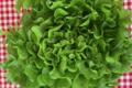 Cueillette du Tronquoy. Salade feuille de chêne verte