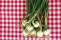 Cueillette du Tronquoy. oignons blancs