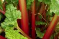 Cueillette du Tronquoy. rhubarbe
