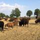 Bisons d'Auvergne