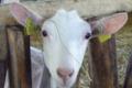 Chèvrerie du Cattelet