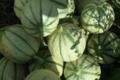 Ferme des tuileries. melon