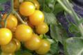 Ferme des tuileries. tomates-cerises jaunes