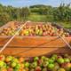 Les Vergers de Chorette. Pommes