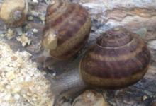Escargots La maisonnette