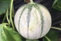 Ferme Vandesompele. Melon