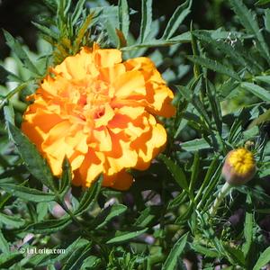 Œuillet d'Inde Fleur