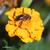 Oeuillet-d-inde-et-abeille