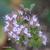 Origan-vulgaire-fleur