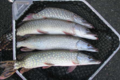 Fish Brenne. Brochet